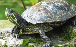 Где зимуют водяные черепахи