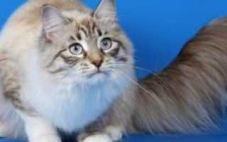 Сколько живут кошки персы