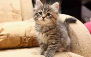 Как назвать сибирскую кошку девочку