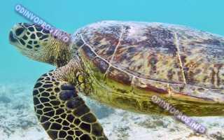 Сколько живет домашняя черепаха сухопутная