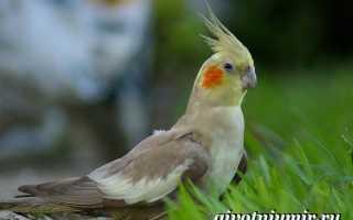 Авито набережные челны попугайчик корелла фото