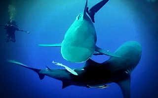 Живорождение у акулы какое размножение