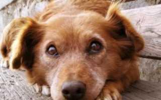 У собаки болит лапа чем обезболить