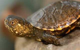 Какие черепахи водятся в россии