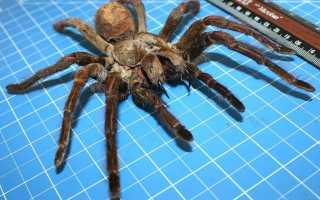 Каких размеров бывают пауки