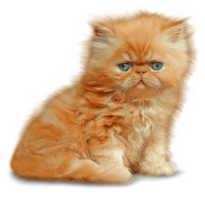 Персидская кошка фото цена
