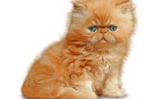Кошки персы фото цена