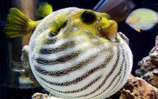 Рыба шарик фото