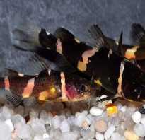 Касатка аквариумная рыбка