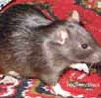 Окрасы крыс с фото