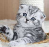 Чем лучше кормить шотландских котов