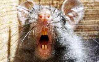 Афганская крыса википедия