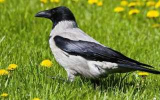 Ворона сколько живет