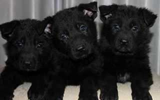 Сколько стоит черная немецкая овчарка