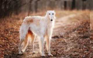 Порода собак борзая сканворд