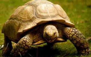 Сухопутные черепахи пьют воду