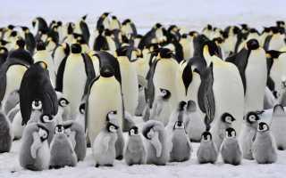 Пингвины питаются рыбой