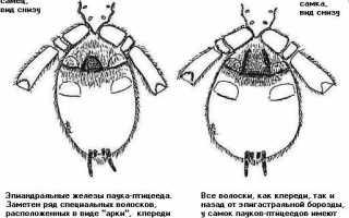 Определение пола паука