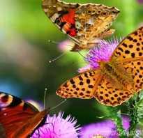 Бабочки на зиму засыпают или умирают