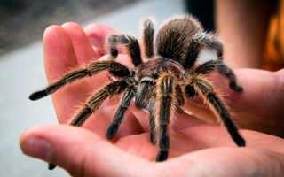 Сколько лап у тарантула