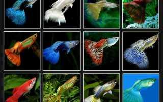 Как выглядит рыба гуппи
