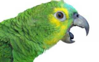 Почему попугаи открывают клюв