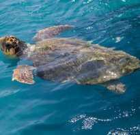Что любят морские черепахи