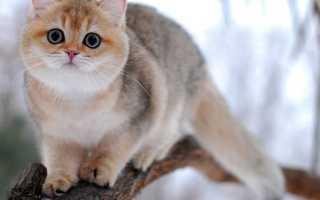 Персидская кошка золотая шиншилла