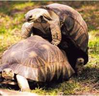 Черепахи занимаются спариванием