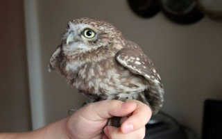 Завести сову в домашних условиях