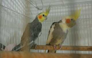 Форум попугаев корелла
