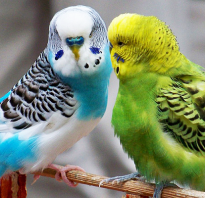 Попугай это животное
