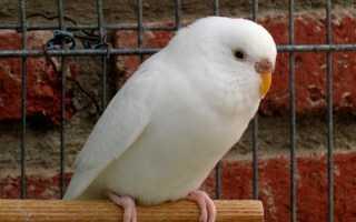Попугай белого цвета