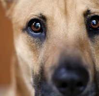 Какое расстояние между глазами собаки