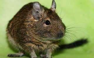 Смесь крысы и белки