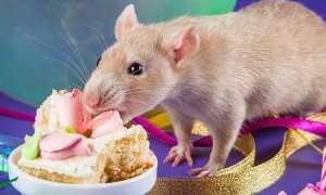 Что можно кушать крысам