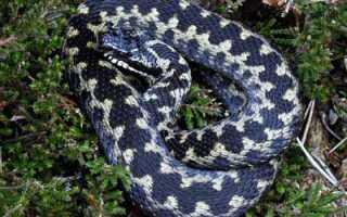 Змея гадюка обыкновенная