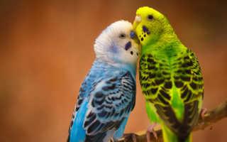 Волнистые попугаи отзывы