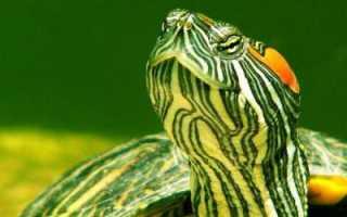 Как кормить водоплавающую черепаху