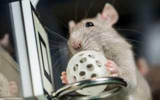 Дрессировка крыс в домашних условиях