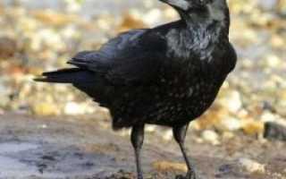 Самец вороны как называется