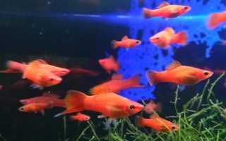 Меченосец рыбка фото