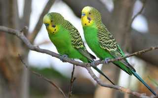 Необычные волнистые попугаи