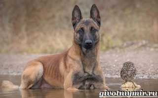 Собака породы малинуа фото