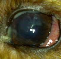 У щенка гноятся глаза что делать