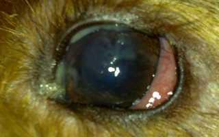 У собаки стали гноиться глаза