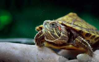 Где обитают черепахи