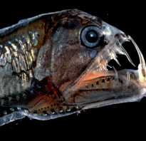 Рыба гадюка фото