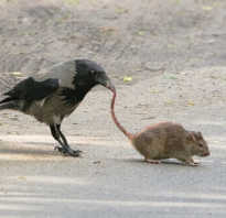Что едят вороны в городе