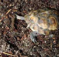 Сухопутная черепаха спячка